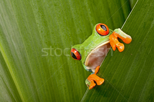Stok fotoğraf: Kırmızı · yeşil · Rainforest · Kostarika · meraklı