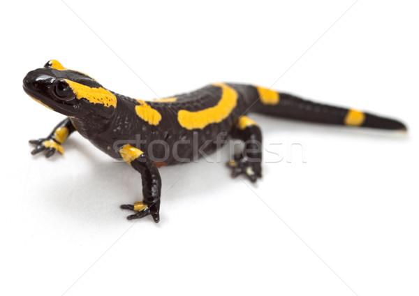 Tűz fényes színes kétéltű mérgező állat Stock fotó © kikkerdirk