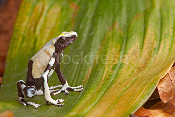 frog in tropical Amazon rainforest, poison dart frog, exotic animal of rain forest in French Guyana, Stock photo © kikkerdirk