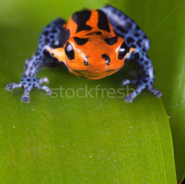 Frog red poison dart frog with bright blue legs Stock photo © kikkerdirk