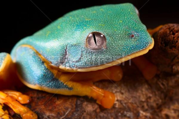 tree frog head Stock photo © kikkerdirk