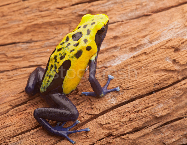 yellow poison dart frog Stock photo © kikkerdirk