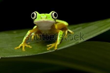 Tropischen Laubfrosch Frosch amazon unter Stock foto © kikkerdirk