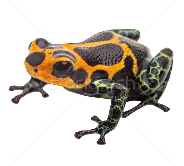 Isolated poison dart frog Stock photo © kikkerdirk