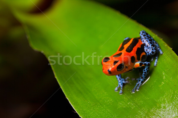 Rot Gift Frosch Sitzung green leaf amazon Stock foto © kikkerdirk