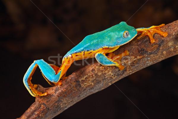 Laubfrosch Klettern Zweig tropischen amazon Stock foto © kikkerdirk