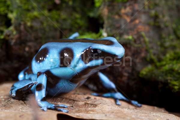 Stock photo: blue poison dart frog