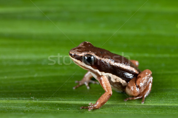 rocket frog cColostethus talamancae Stock photo © kikkerdirk