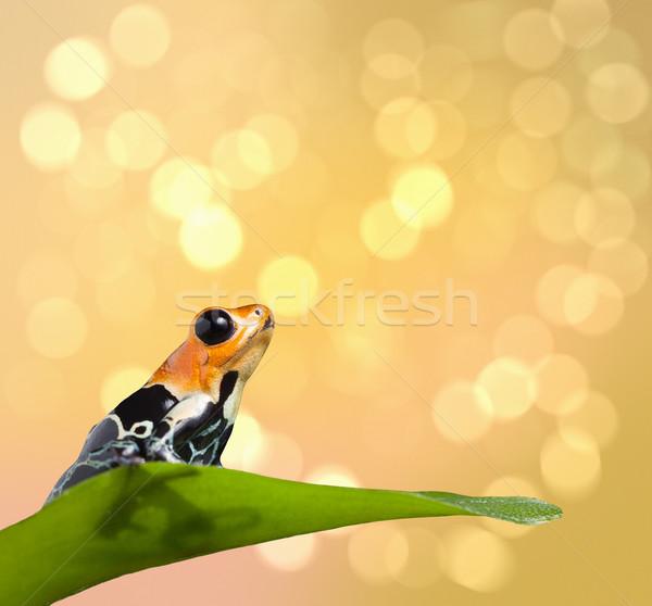 poison frog  Stock photo © kikkerdirk