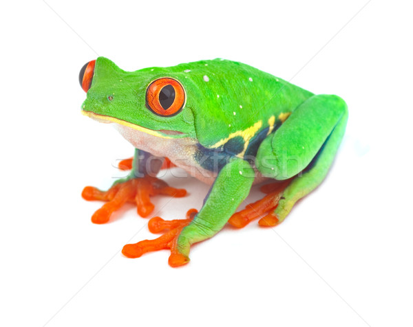 red eyed tree frog   Stock photo © kikkerdirk