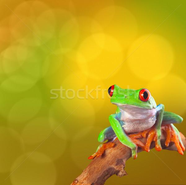 red eyed tree frog Stock photo © kikkerdirk
