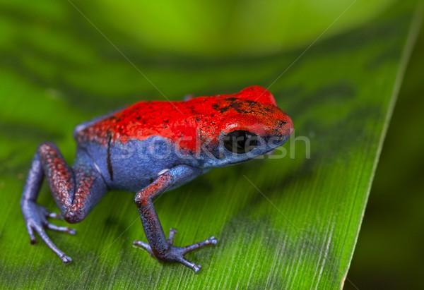 Zdjęcia stock: Trucizna · dart · żaba · czerwony · niebieski · amfibia