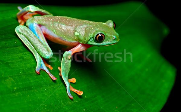 tropical tree frog Stock photo © kikkerdirk