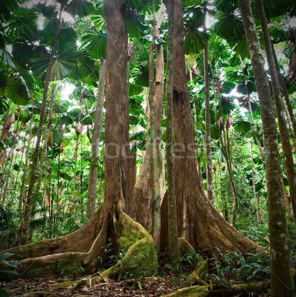 gigantic trees in fan palm forest Stock photo © kikkerdirk