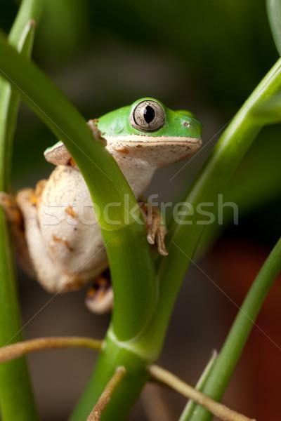 tree frog Stock photo © kikkerdirk