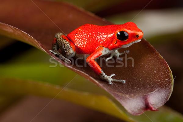 red frog Stock photo © kikkerdirk