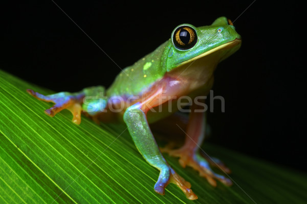 tropical tree frog Stock photo © kikkerdirk