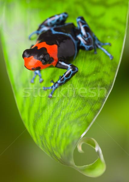 red poison dart frog Stock photo © kikkerdirk