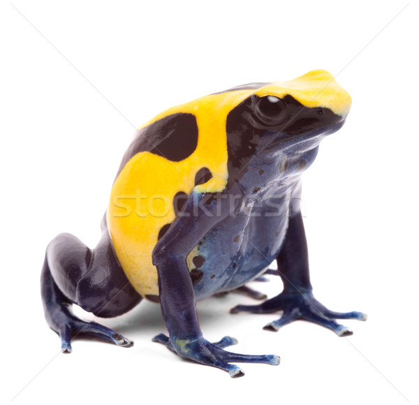 yellow blue poison dart frog Stock photo © kikkerdirk