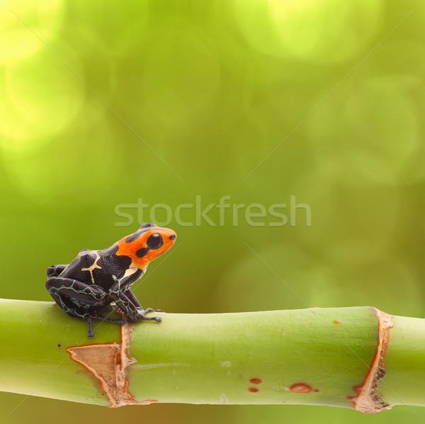 Méreg nyíl béka ág zöld trópusi Stock fotó © kikkerdirk