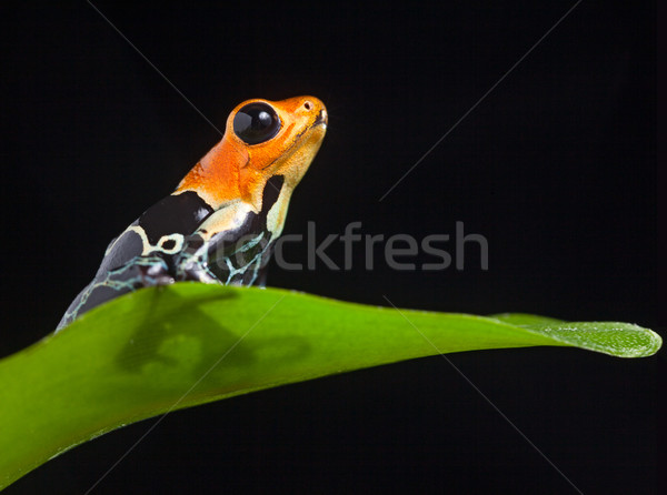 poison frog Stock photo © kikkerdirk