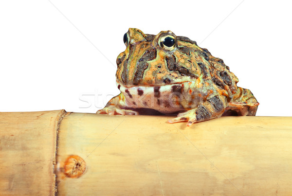 pacman frog isolated Stock photo © kikkerdirk