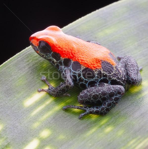 ranotimeya reticulata Stock photo © kikkerdirk