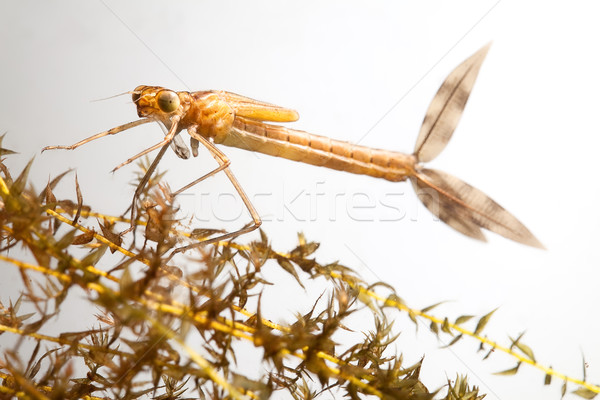 damselfly larvae Stock photo © kikkerdirk