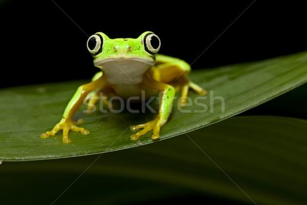 Levelibéka citromsárga éjszaka trópusi dzsungel Panama Stock fotó © kikkerdirk