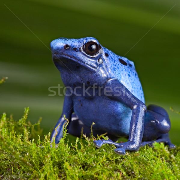Blauw gif dart kikker giftig dier Stockfoto © kikkerdirk