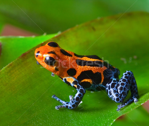 red poison dart frog Stock photo © kikkerdirk