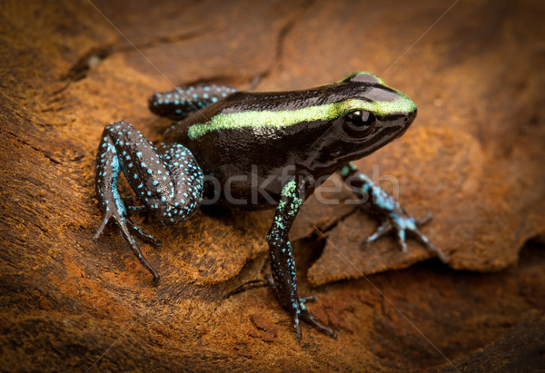 tropical poison frog Stock photo © kikkerdirk