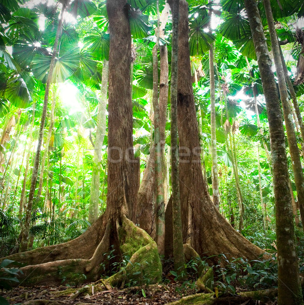 gigantic trees in fan palm forest Stock photo © kikkerdirk