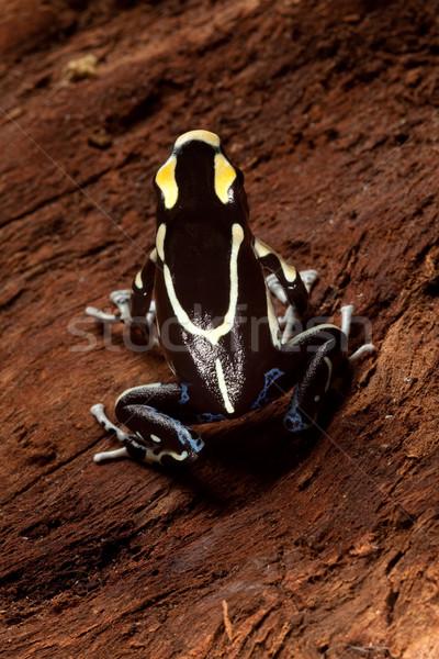 Zehir pens kurbağa siyah sarı zehirli Stok fotoğraf © kikkerdirk