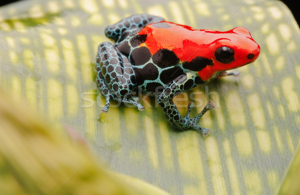 red poison arrow frog Stock photo © kikkerdirk