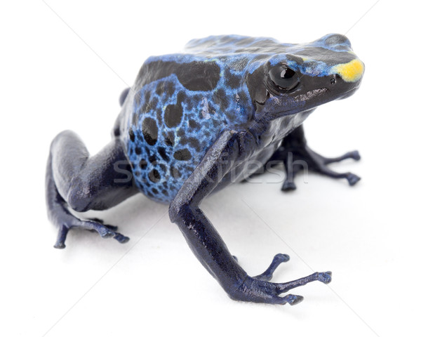 blue poison frog Stock photo © kikkerdirk