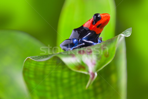dart frog Stock photo © kikkerdirk