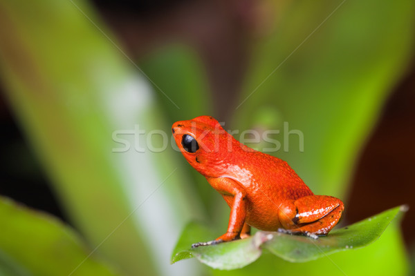 orange poison dart frog Stock photo © kikkerdirk