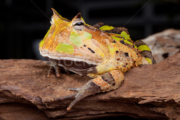 horned toad Ceratophys cornuta Stock photo © kikkerdirk
