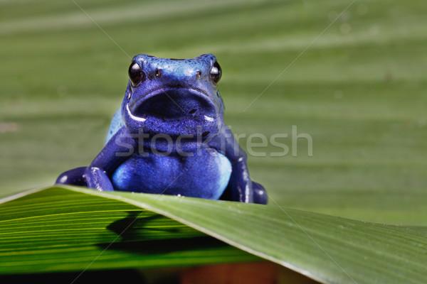 Frosch hellen blau amazon Regenwald Tier Stock foto © kikkerdirk