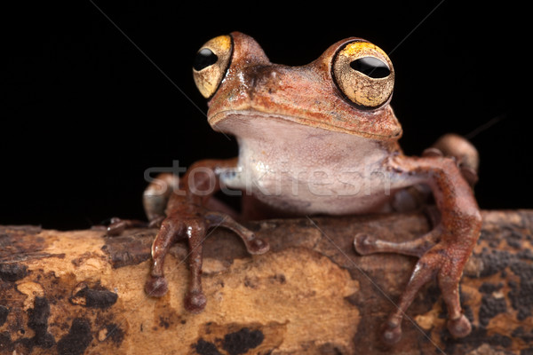 tropical tree frog at night Stock photo © kikkerdirk