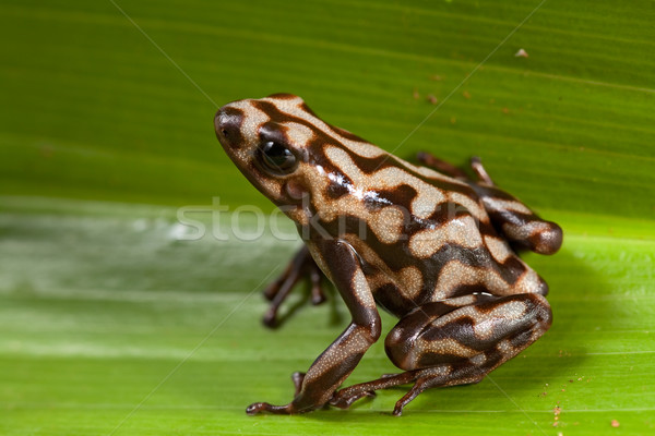 poison dart frog frog Stock photo © kikkerdirk