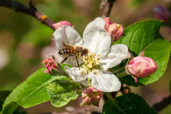 çalışma arı görüntü makro yeşil hayvan Stok fotoğraf © Kirschner
