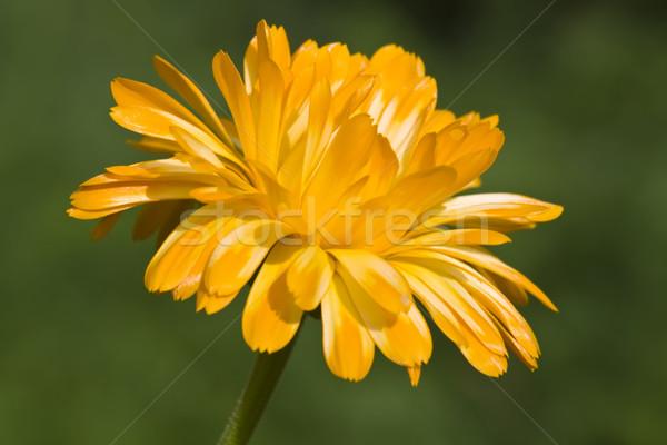 Marigold Stock photo © Kirschner