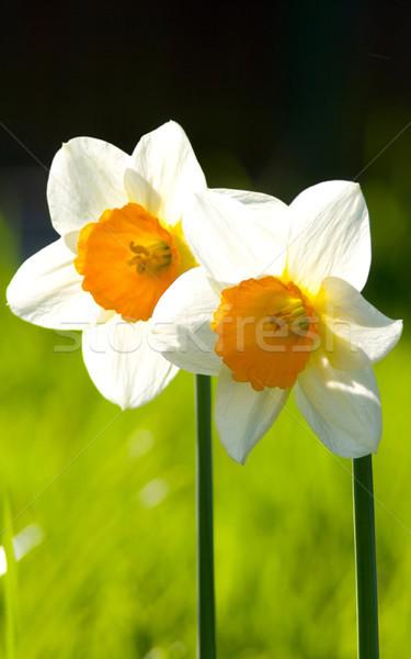 白 スイセン 画像 マクロ 2 花 ストックフォト © Kirschner