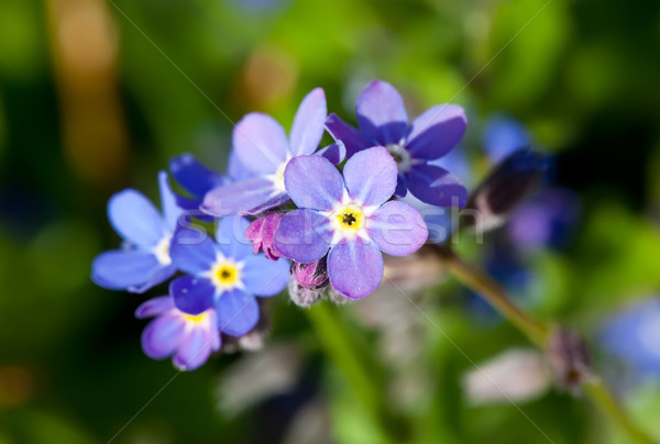Forget-me-not Stock photo © Kirschner