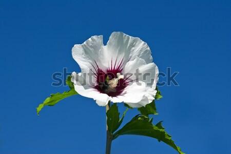 白 ハイビスカス 画像 咲く 空 青 ストックフォト © Kirschner