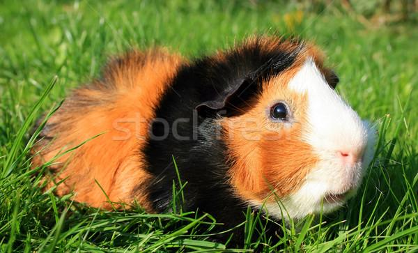 Kobay portre domuz hayvan makro yansıma Stok fotoğraf © Kirschner