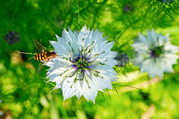 Cumin Flower Stock photo © Kirschner