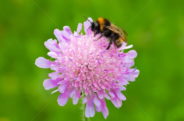 Arı görüntü çiçek çiçek siyah Stok fotoğraf © Kirschner